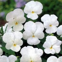 Pansy (Viola Wittrockiana Clear Crystals -White) - 50 Seeds