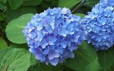 Bloom Struck Hydrangea Floral Plant - 1 Gallon