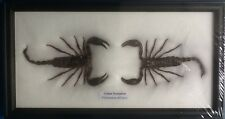 2 REAL FIGHTING BLACK SCORPION INSECT PALAMNAERSUS TAXIDERMY FRAMED SCORPIONS
