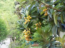 Eriobotrya japonica Japanese Plum Loquat Quart Plant Free Ship