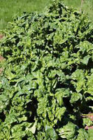 SPINACH, BLOOMSDALE LONG STANDING, HEIRLOOM, ORGANIC 25+ SEEDS, GREAT FOR SALADS