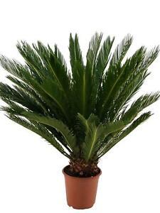 Cycas Revoluta Palmfarn Sagopalme Zimmerpflanze Grünpflanze Blume
