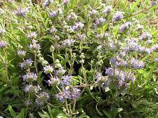 "Salvia ""bee's bliss"" (10 seeds/graines)"