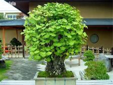 Gingko Biloba Bonsai Seeds 10 Seeds/Pack Beautiful Green Ornamental Leaves Tree