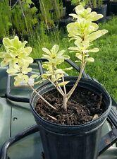 Variegated Pittosporum Mock Orange Plant Live Bush Fragrant White Bloom Flower