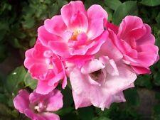 Pink Knock Out Medium Pink Rose 1 Gal Shrub Plants Plant Disease Resist Roses