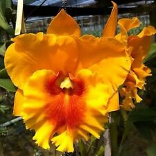 Cattleya Orchid Hybrid NP gold Blooming Size From Thailand