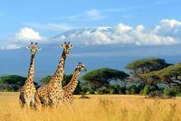 A1 | Giraffe Poster Art Print 60 x 90cm 180gsm Africa Wild Animal Fun Gift #8150