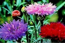 Bachelor Button- Cornflower- Tall Mix colors- 200 Seeds- Bogo 50% off Sale