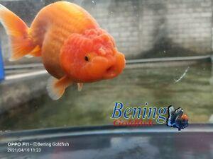 Goldfish Ranchu Lionhead high quality size 5,5 inch !!! INCLUDE IMPORT FEE