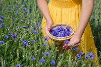 ** blaue Kornblume wächst gerne am Rande eines Weizenfeldes, Wildblume Samen.