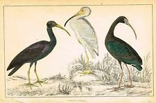 """Goldsmith's Animated Nature - """"IBIS & STORK"""" - Hand-Coloured Engraving - 1850"""