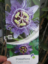 Passiflora 'Purple Haze' - Passionsblume -  Pflanze 30-50cm - Maracuja