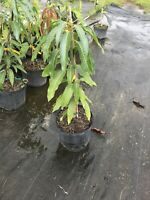Butter Cream Mango Tree 3 Gal Potted Tree Grafted