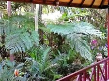 AUSTRALIAN TREE FERN CYATHEA COOPERI -Lacy Tree Fern - generous 1000 SPORES
