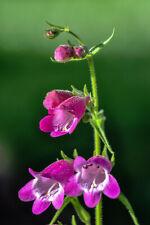 500 PALE BEARDTONGUE Pink Penstemon Flower Seeds CombSH