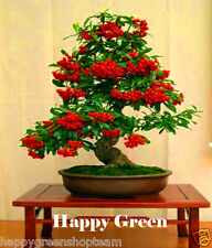 SCARLET FIRETHORN - Pyracantha coccinea 100 seeds for Bonsai or garden tree