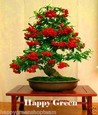 Scarlet firethorn-Pyracantha Huayruro 100 semillas para bonsai o árbol de jardín