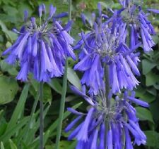Agapanthus inapertus ssp hollandii / African Lily / Hardy Perennial / 20 Seeds