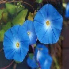 Morning Glory Heavenly Blue Flower UNTREATED Fresh BULK 5 Lb Seeds