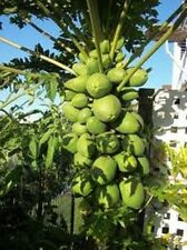 HEAVY FRUITING RED PAW PAW, PAPAYA. 50+ FRESH SEEDS. FRUITS FROM A YOUNG AGE