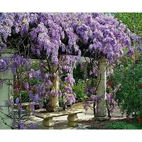 "Live Plant Amethyst Falls Wisteria Vine Flowers 3"" Pot Garden Outdoor Yard"