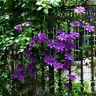 100stk Clematis Lila Samen Blumen Kletterpflanze Rankepflanze Sichtschutz I3B0