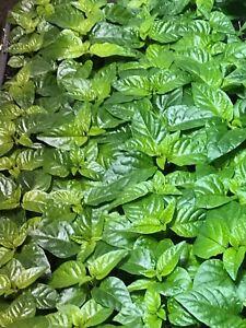 TRINIDAD MORUGA SCORPION LOT OF 3 Super Hot Pepper LIVE PLANTS 2,000,000+ SHU