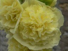 15 graines - ROSE TREMIERE - à fleurs doubles - Hauteur 2m