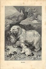 Stampa antica ORSO POLARE CON CUCCIOLO BEAR 1891 Old antique print