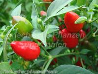 🔥 🌶️ PAKISTAN Chili 10 Samen Zimmerchili Chiliernte das ganze Jahr alte Sorte