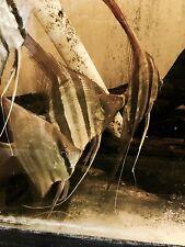 """New listing Altum Angelfish Jumbo 14"""""""