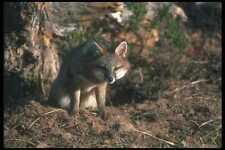 109037 Gray Fox en otoño en den contacto visual A4 Foto Impresión