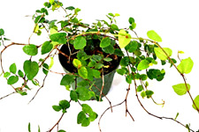"""Creeping Fig Native Plant Live Houseplant Growing in 4"""" pot - Great Gift Idea !"""