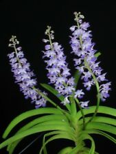 MOS. Orchid Species Rhynchostylis coelestis (small seedling)