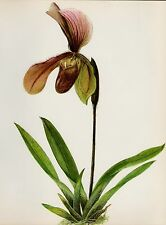 Lovely ORCHID Print Botanical Flower Print Cottage Decor Paphiopedilum A. #2121