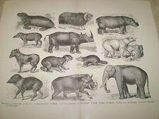 1893 AUTHENTIC ANTIQUE BOOK PRINT OF MAMMALIA. SEA BEAR. MUSK OX. HIPPO. TAPIR