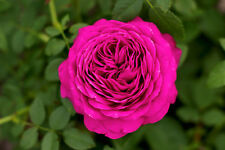 Rosa 'Old Port' Floribunda Rose, Stunning Magenta Blooms & Strong Fragrance