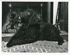 ÉPAGNEUL c. 1950 - Chien Irish Water Spaniel  Grand Format - CH 39