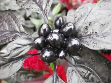 15PCs Seeds Pepper Organic Black Pearl Chili leafed Ornamental Edible Vegetables