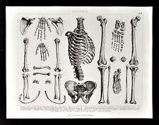 1874 Bilder Anatomical Print - Skeleton Bones Ribs Pelvis Arm Leg Human Anatomy