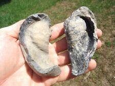 2 Choice Sperm Mammal Inner Ear Bones Florida Fossils Extinct Ice Age Skull Fl @