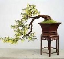 50 X SCOPA Albero Semi, Scotch SCOPA. Semi di Albero che può essere utilizzato per bonsai.