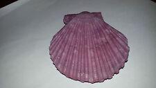 Conchiglia Shell CHLAMYS SENATORIA NOBILIS  colore viola  mm 76 x 71  Giappone