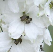 Delphinium - Magic Fountains White with Dark Bee - 50 Seeds