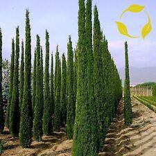 Italian Cypress Cupressus Sempervirens Stricta 10,25,50,100 Seeds