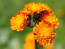 10 Pflanzen orangerotes Habichtskraut aus meinem Biogarten
