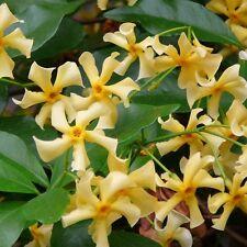 TRACHELOSPERMUM JASMINOIDES TOSCANE Jasmine CLIMBER Yellow Scented 4litre Potted