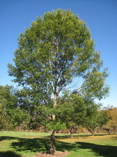 Quercus acutissima (Sawtooth oak tree) in 50mm forestry tube