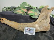 Ice Age Bison antiquus Jaw from Otoe County Nebraska, Usa with Display Label.